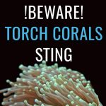 BEWARE: Torch Corals Sting!