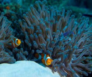 Clownfish | How to care for clownfish
