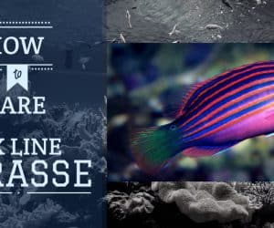 Six line Wrasse - How To Care