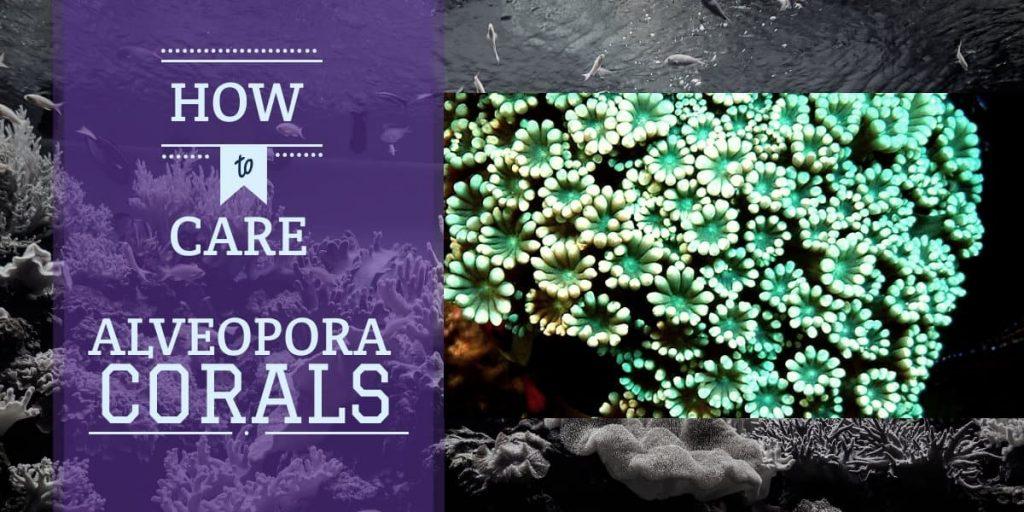 Alveopora Corals | How to Care for Alveopora