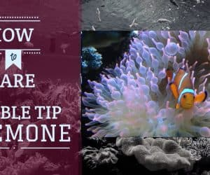 Bubble Tip Anemone | Care Guide