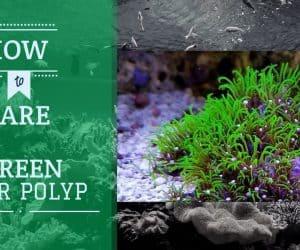 Green Star Polyps Coral   Care Guide