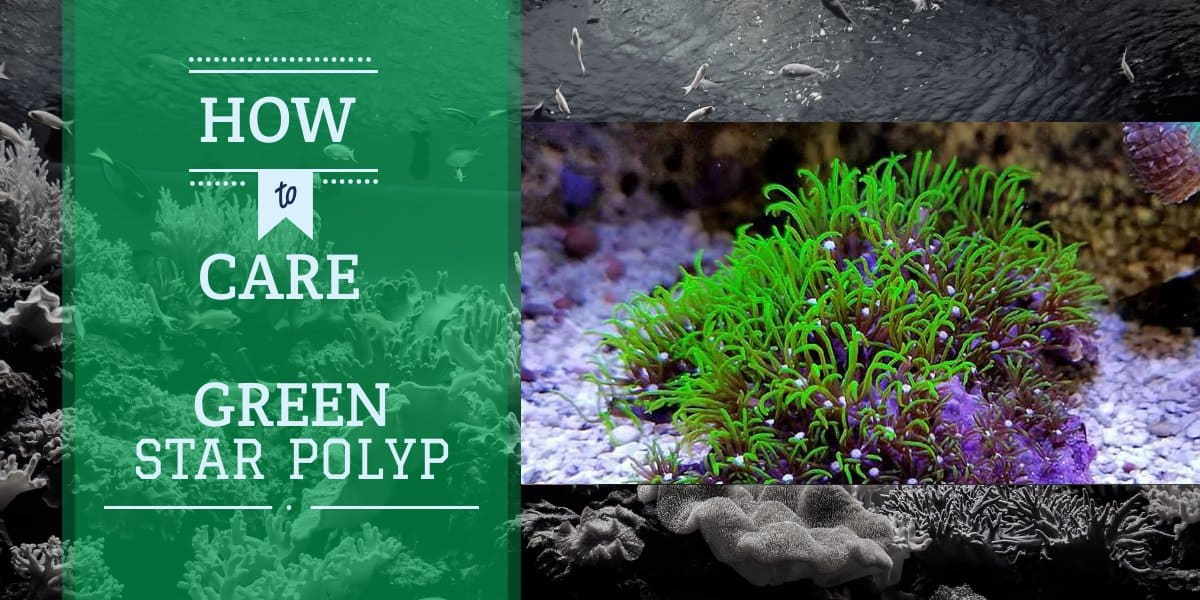 Green Star Polyps Coral | Care Guide
