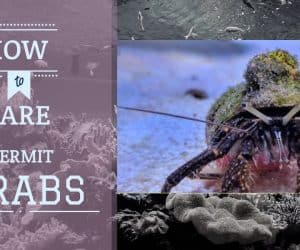 Hermit Crabs in Marine Tanks | Care Guide