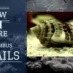 Stombus Snails or Fighting Conch | Care Guide