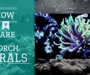 Torch Corals Care | Complete Guide to Caring for your Torch Corals