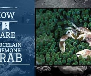 Porcelain Anemone Crabs | Care Guide
